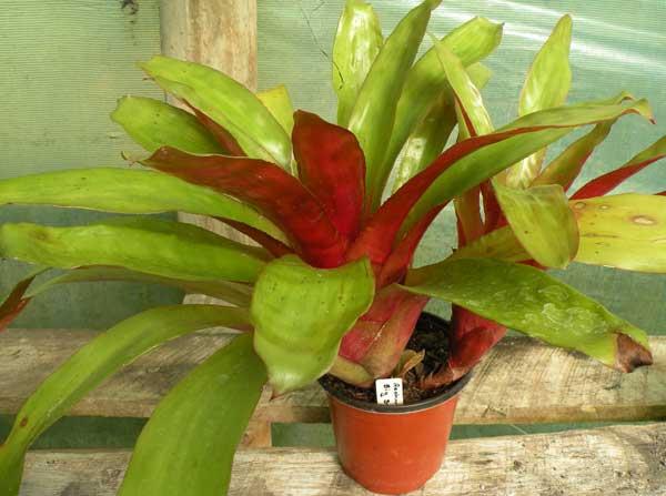 Subtropicals Bromeliads